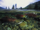 Salmon Underwater  Clayoquot Sound  Vancouver Island