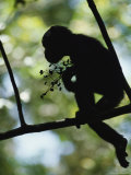 A Silhouette of a Chimpanzee Sitting in a Tree