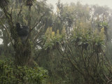 A Silverback Gorilla in a Moss-Covered Tree in the Rwanda Rain Forest