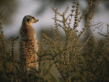 A Meerkat (Suricata Suricatta) Stands Alert  Wary of Any Predators