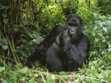 A Portrait of a Mountain Gorilla in the Forest of Zaire