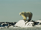 A Polar Bear Stands Atop a Snow-Covered Rock