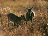 Female Duiker and Fawn