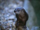 Close View of a River Otter Papier Photo par Joel Sartore