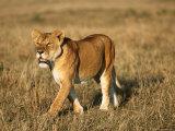 A Young Lion Crosses a Grassland