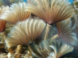 A Close View of Tubeworms with Their Food-Filtering Tentacles Waving