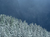 Snow-Covered Fir Trees  Berchtesgaden National Park  Germany