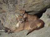 A Mother Mountain Lion and Her Cub Rest at the Entrance to a Cave