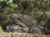 A Blue Grouse (Dendragapus Obscurus) Covers and Protects Her Chicks