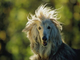 A Portrait of an Afghan Hound Dog
