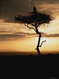 An African White-Backed Vulture Silhouetted Atop a Tree at Sunset