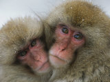 A Pair of Japanese Macaques  or Snow Monkeys  Cuddle Together