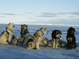 Dogsled Dogs Harnessed and Ready to Head out with Their Musher