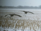 A Pair of Sandhill Cranes Fly over Harvested Cornfield with Snow