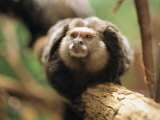 A Black Tufted Ear Marmoset Clings to a Tree Branch