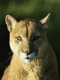 A Portrait of a Mountain Lion