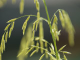 Close View of Endangered Texas Wild Rice