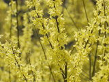 Spring Flowers  Forsythia  Mid-April  Massachusetts