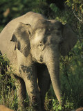 A Portrait of One of Borneos Asian Elephants