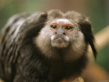 A Black Tufted Ear Marmoset  Callithrix Penicillata