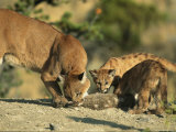 A Mother Mountain Lion and Her Cubs Eat a Freshly-Killed Rabbit