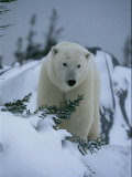 A Polar Bear in a Snowy  Twilit Landscape