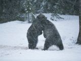 A Pair of Grizzly Bears Play and Tussle in a Snow Storm
