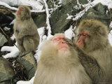 Japanese Macaques (Macaca Fuscata)  Grooming  Jigokudani  Japan