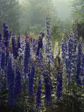 Blue Spikes of Lupine Flowers