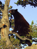 An American Black Bear Stands in a Tree