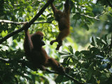 A Female Orangutan and Her Baby in a Tree