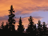 Silhouetted Evergreen Trees at Twilight under a Cloudy Sky