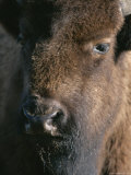 Portrait of a Wood Buffalo