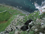 Thick-Billed Murres and Red-Legged Kittiwakes on a Seaside Cliff