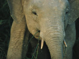 A Close View of the Face of a Young Asian Elephant