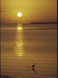 A Heron Wades in the Shallow Water of the Gulf of Mexico at Sunset