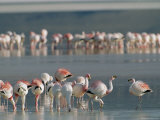 Flamingos Forage for Food in the Shallow Waters of an Atacama Lake