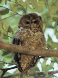 A Northern Spotted Owl (Strix Occidentalis) Peers from a Tanoak Tree