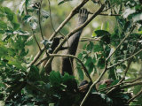 A Female Chimpanzee and Her Baby Rest in the Branches of a Tree
