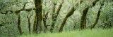 Coast Live Oaks (Quercus Agrifolia)