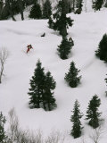 A Skier Makes His Way Down a Hill Below Kilinmarg  Gulmarg  Kashmir