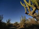 Giant Cardon Cacti Line a Small Dirt Road in Baja