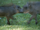 Two Juvenile Warthogs at Play