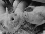 Close View of Two Young Pigs