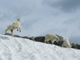 Rocky Mountain Goat Kids (Oreamnos Americanus) Frolic in the Snow
