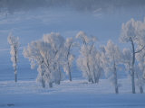 Frost Covered Cottonwood Trees in a Snowy Landscape