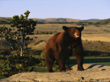 An American Black Bear Stands Atop a Rock