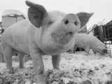 Close View of a Young Pig in a Snowy Pen