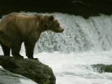 A Grizzly Bear Waits Patiently Near a Waterfall for Passing Fish