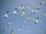 A Flock of Gulls in Flight